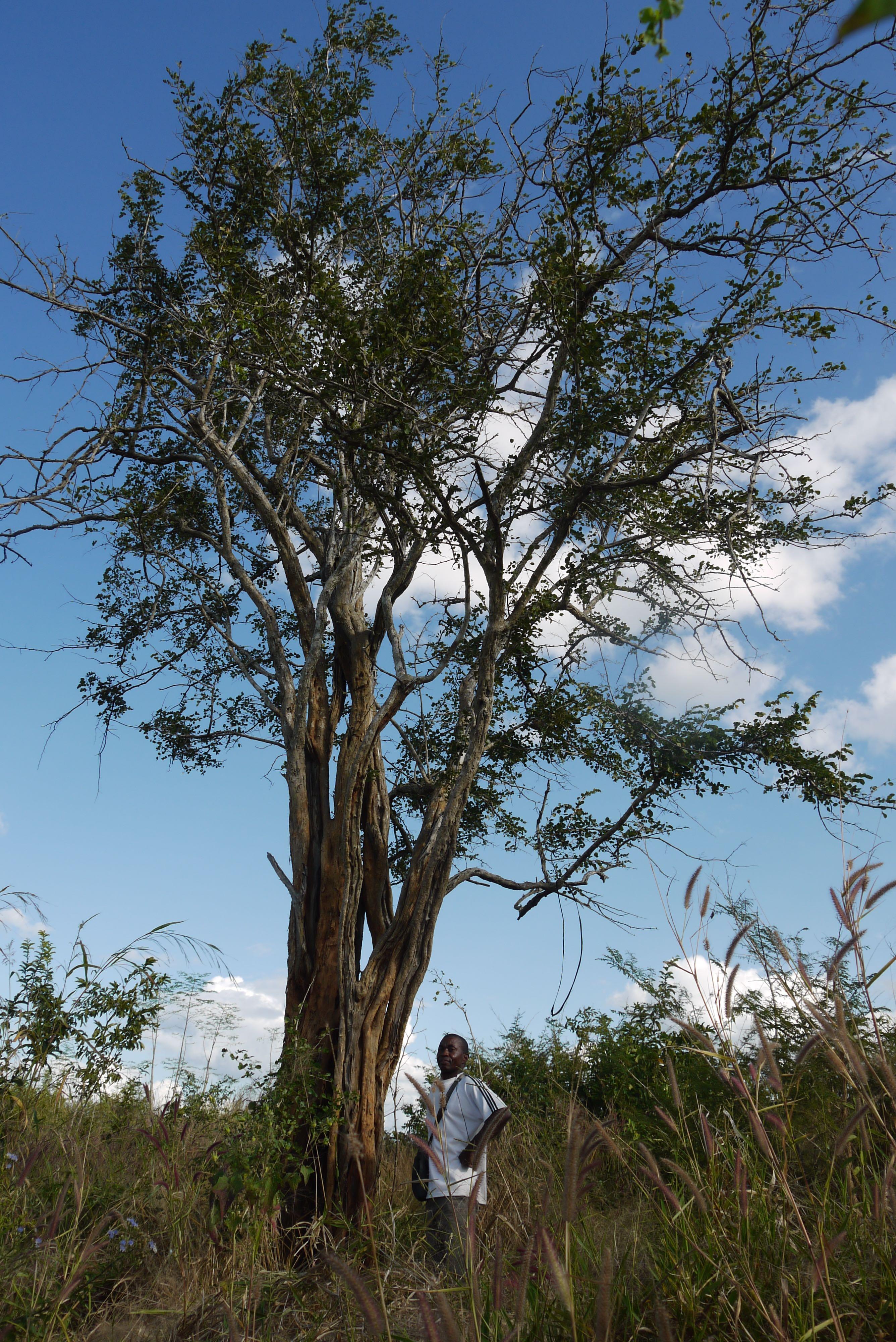 Mpingo Tree