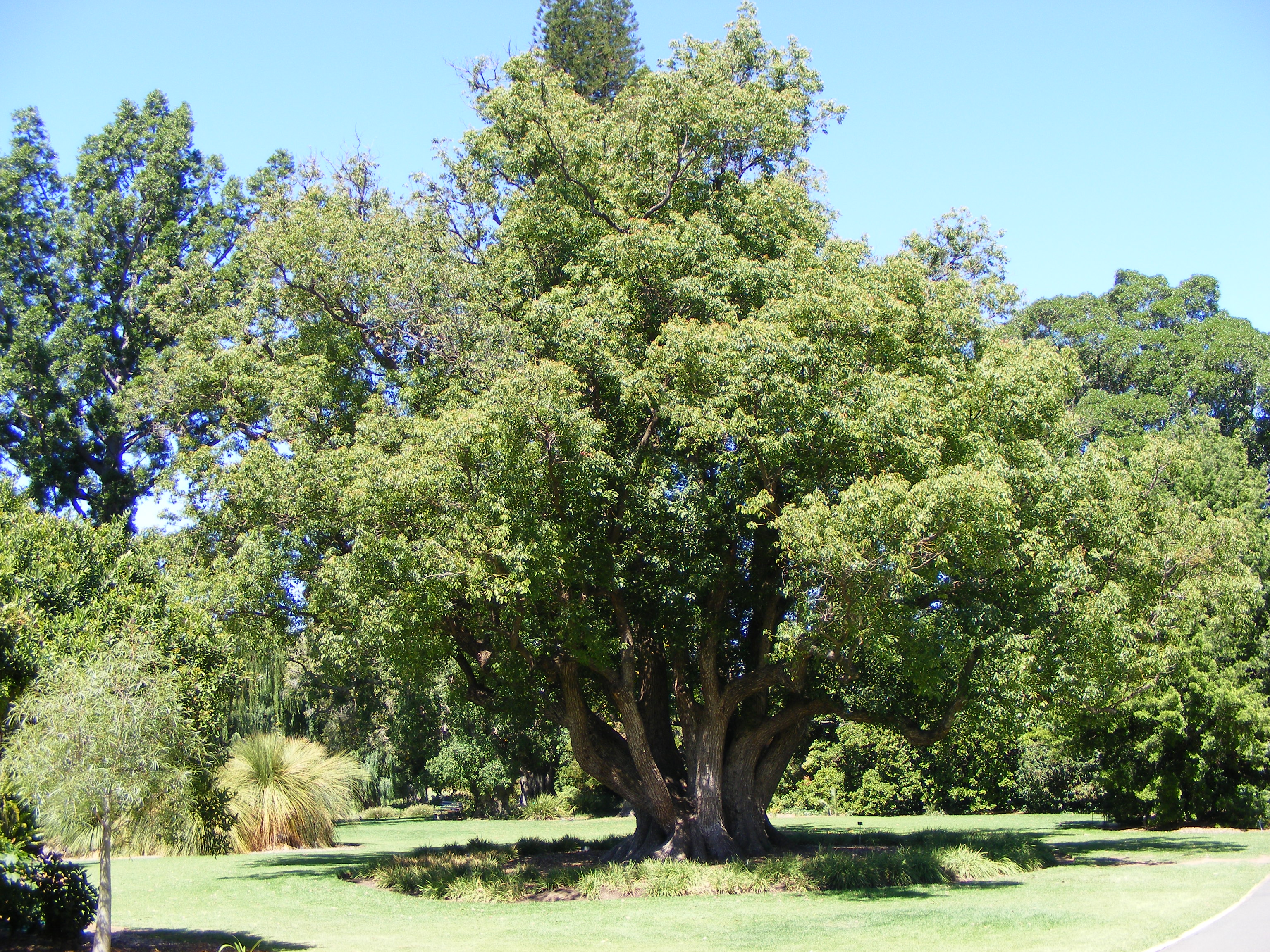 The Cinnamomum camphora tree